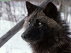 Animals Cool Creatures Tundra Wolf Alaska Image